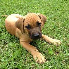 Bella. She's a mix of South African & Italian Mastiffs. She's 9 weeks old.