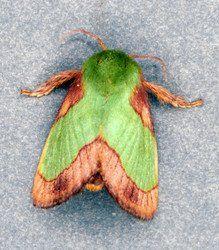 Stinging rose caterpillar moth, Parasa indetermina