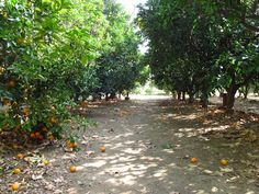 Picking oranges seems like a quintessentially Southern California activity. This winter, why not try orange picking at Heritage Park? California Vacation, Southern California, California Activities, Hikes In Los Angeles, Los Angeles With Kids, Fruit Picking, Family Fun Day, Away We Go, Tide Pools