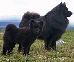 Swedish Lapphund Dog Breed The Swedish Lapphund is a breed of dog of the Spitz type from Sweden, one of three Lapphund breeds developed from a type of dog used by the Sami people for herding and guarding their reindeer. Cute Puppies, Cute Dogs, Dogs And Puppies, Doggies, Beautiful Dogs, Animals Beautiful, Amazing Dogs, Animals And Pets, Cute Animals