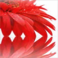Spiegelbild einer Blume in rot Poster von Tanja Riedel