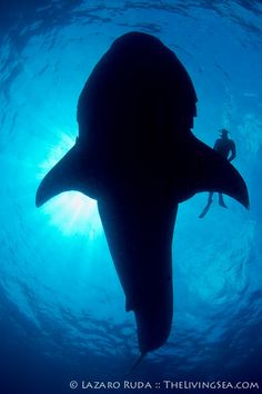 ✯ Weight of a whale shark ~by TheLivingSea.com ✯