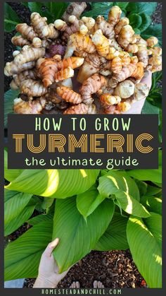 Read along to learn how to grow turmeric in any climate! We'll cover where to source turmeric seed ideal turmeric growing conditions adaptations for cooler climates planting and care instructions and tips for harvest storage preserving and more! Turmeric Seeds, Grow Turmeric, Turmeric Plant, Herb Garden Design, Veg Garden, Edible Garden, Garden Ideas, Garden Pests, Vegetable Gardening