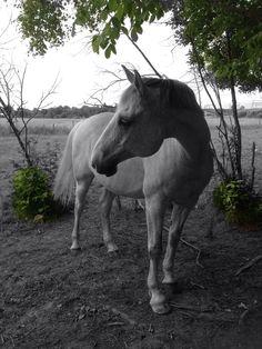 Hästen Javantos