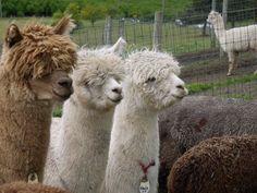 :) Alpaca - got to love those