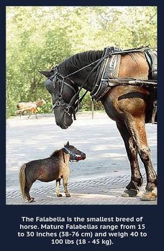 """Horses - The Falabella. I WANT IT. I love how the bigger horse is looking at it like """"wtf?"""""""