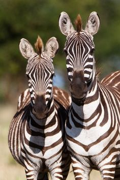 Zebras are native to Africa, belonging to several species of African equines. Its distinctive marks of black lines, unique to each animal individually, make it...