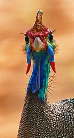 Colorful Birds - Helmeted Guineafowl, in Kruger National Park, South Africa.