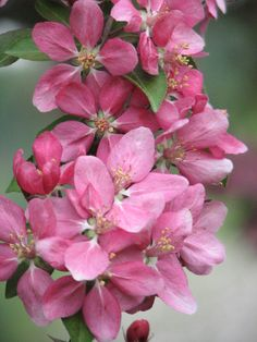 Spectacular Crab apple blossoms.