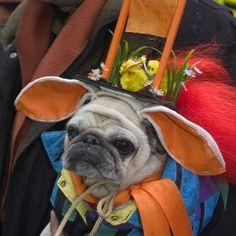 grumpy pug wears oddball costume