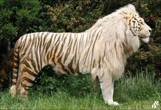 Male Tiger + Female Lion = Tigon These guys aren't as common as their converse hybrid brethren, the liger, but they have the same slew of health problems. Unusual Animals, Rare Animals, Animals And Pets, Wild Animals, Beautiful Cats, Animals Beautiful, Big Cats, Cats And Kittens, Tier Fotos