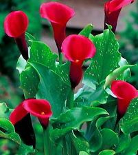 'Majestic Red' Calla Lily Bulb 14/16cm - Long Lasting Blooms