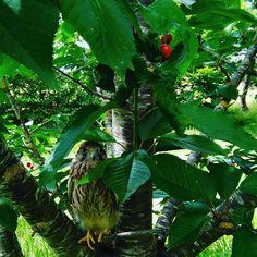 Faucon crécerelle dans le cerisier à Brin de Cocagne - Chambre d'hôtes écologique de charme dans le Tarn près d'Albi - Brin de Cocagne