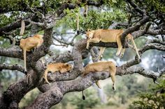 Lions Napping in Tree #2.  Photo by Bobby-Jo Clowearth  earth