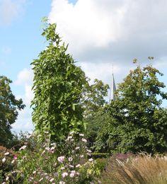 Säulenamberbaum