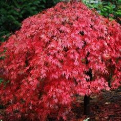 Acer palmatum dissectum 'Ever Red' Tree Small Weeping Trees, Small Trees, Red Maple Tree, Red Tree, Acer Palmatum, Home Garden Plants, Garden Trees, Acer Trees, Dwarf Japanese Maple