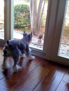 Schnauzer vs. Squirrel