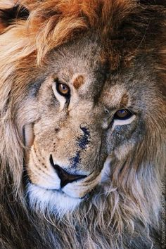 An African Male Lion With Love, Compassion, and Understanding. You Can Also see as You Look at This Lion, There is Kindness in His Heart. Nature Animals, Animals And Pets, Cute Animals, Wild Animals, Exotic Animals, Animals Images, Baby Animals, Beautiful Cats, Animals Beautiful