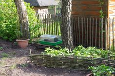 De frambozenstruik achterhet wilgenhaagje is over een maand minimaal 1 meter hoog.