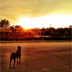 Sunset Doberman