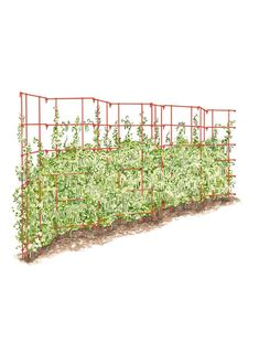 Sturdy, easy-to-use support for climbing peas and other vining crops