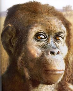 Australopithecus afarensis is an extinct hominid that lived between 3.9 and 2.9 million years ago. A. afarensis was slenderly built, like the younger Australopithecus africanus. It is thought that A. afarensis was more closely related to the genus Homo (which includes the modern human species Homo sapiens), whether as a direct ancestor or a close relative of an unknown ancestor, than any other known primate from the same time.  The most famous fossil is the partial skeleton named Lucy.