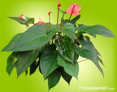 Quickly remove the fading or dying flower spathes on Anthurium HousePlants as soon as they appear and give them a 6 week rest in the winter to help them bloom. http://www.houseplant411.com/houseplant/anthurium-plant-care