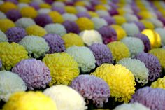 The art of the Japanese Chrysanthemum | Flickr - Photo Sharing!