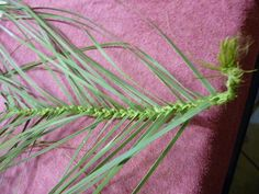 Once you have plaited the centre whiri, then turn the end of the plait to the left (mid photo below) and weave on a taki tahi way all the way to a triangle, whenu with under side up. Flax Weaving, Weave, Blog, Maori, Linen Fabric