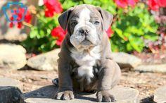 Rolo | English Bulldog Puppy For Sale | Keystone Puppies