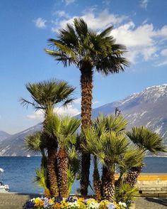 #Repost @tizzy181 ・・・ #limonesulgarda #lagodigardaofficial #lagodigarda #gardalake #gardaoutdoors #lombardiadavedere #lombardia_super_pics #volgobrescia #visititalia #scattaingiro #tree_captures #trees #top_lombardia_photo #loves_united_lombardia #gardasee #igersgarda #photogc