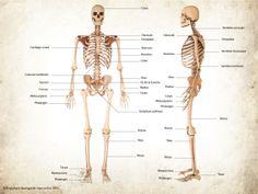 Squelette humain (antérieur