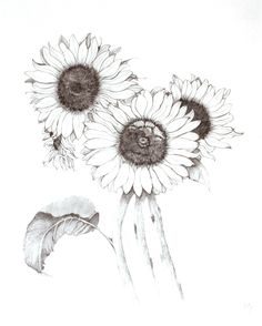 "May Parker Sunflowers I graphite 31"" x 25"""