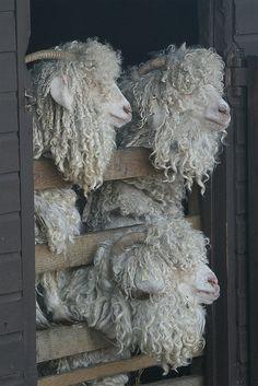 Pvoland : SHEEP
