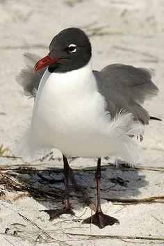 Fluffy Gull