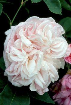 ~Rosa 'Souvenir de la Malmaison' (Bourbon Climber, 1893, antique old rose) pale pink
