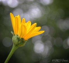 Daisy love. . (photo by Miguel)