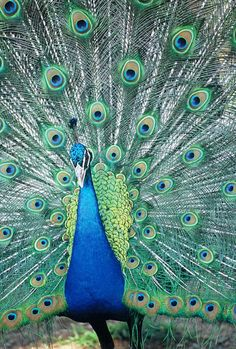 Royal blue peacock (female is called a peahen and much duller in color)