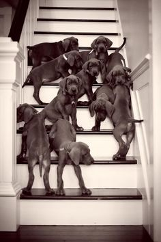 Great Dane puppies...I want them all!!!