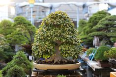 Beech bonsai, Bjorn Bjorholm
