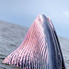 อ่าวไทยพบวาฬบูรด้า. สนใจติดต่อภานุ 0845586115
