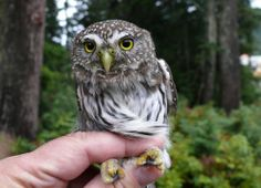 The Northern Pygmy Owl - found along the West Coast Of N.America - Only 7 inches tall