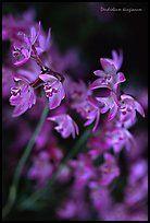 Dendrobium kingianum. A species orchid ( color)