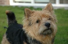 All sizes | Teun Norwich Terrier | Flickr - Photo Sharing!