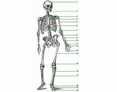blank diagram skeleton human body