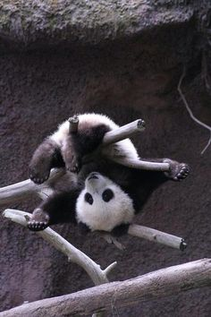 "Ta-da! ""Mr. Wu"" working on his gymnastics routine. (Photo by Linda Buitenweg)"