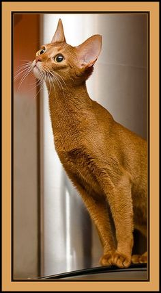 cat Pippi (KO) Abyssinian cat, named Pippi. Long neck, long body and long on charm.(KO) Abyssinian cat, named Pippi. Long neck, long body and long on charm. Cute Cats And Kittens, Baby Cats, I Love Cats, Cool Cats, Pretty Cats, Beautiful Cats, Animals Beautiful, Cute Animals, Sweet Cat