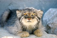 This strange-looking cat is what leopards used to look like over five million years ago! Peter Pallas, a German naturalist, initially believed the flat-faced, shaggy cat was related to the domestic Persian breed. He originally classified it as Felis manul in 1776, but the genus has since been changed to Otocolobus. The word roughly translates …