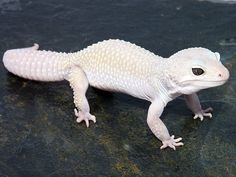 Similar to many reptiles, a leopard gecko also has a tail that can drop if grabb. - My list of the most beautiful animals Lepord Gecko, Leopard Gecko Cute, Leopard Gecko Morphs, Cute Gecko, Cute Reptiles, Reptiles And Amphibians, Rare Albino Animals, Cute Lizard, Fauna