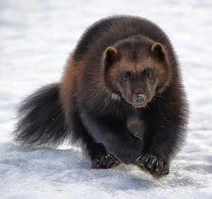 "beautiful-wildlife: "" Wolverine by Wade Aiken "" Beautiful Creatures, Animals Beautiful, Wolverine Animal, Wolverine Images, Animals And Pets, Cute Animals, Superhero Poster, Honey Badger, Wild Nature"